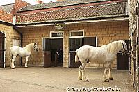 The renowned pair of Shire dray-horses, Tadcaster [Yorkshire - England]